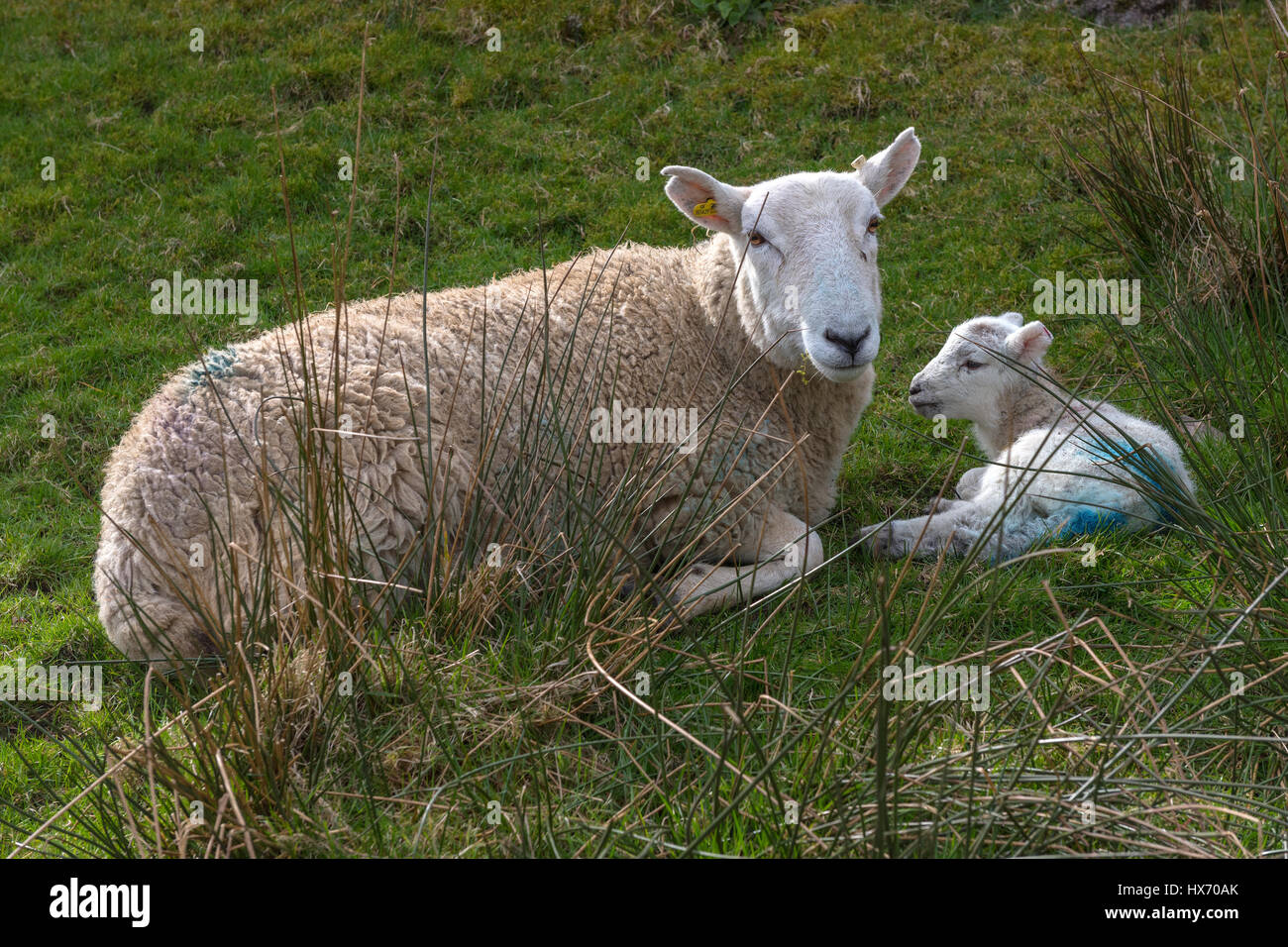 Herdwick Ewe and new born lamb - Stock Image