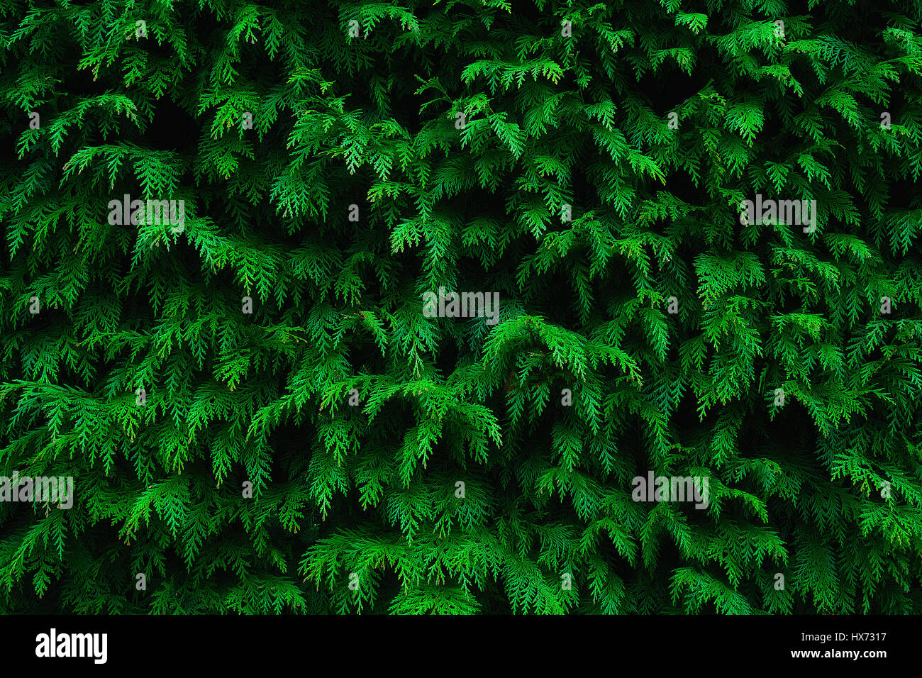 background of conifer leaf texture pattern - Stock Image
