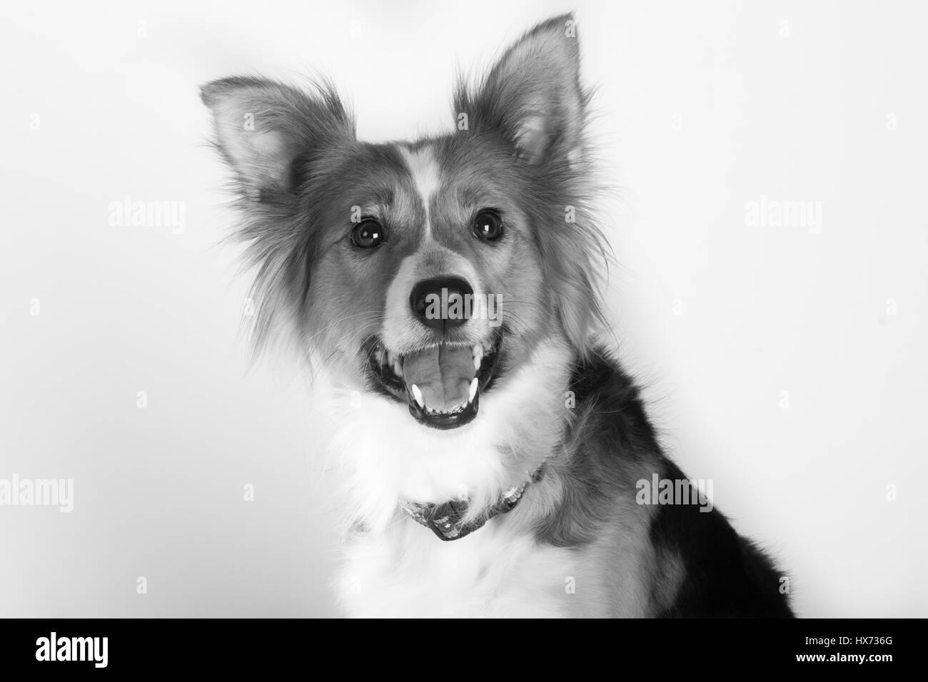 Shirley, The Beatiful collie - Stock Image