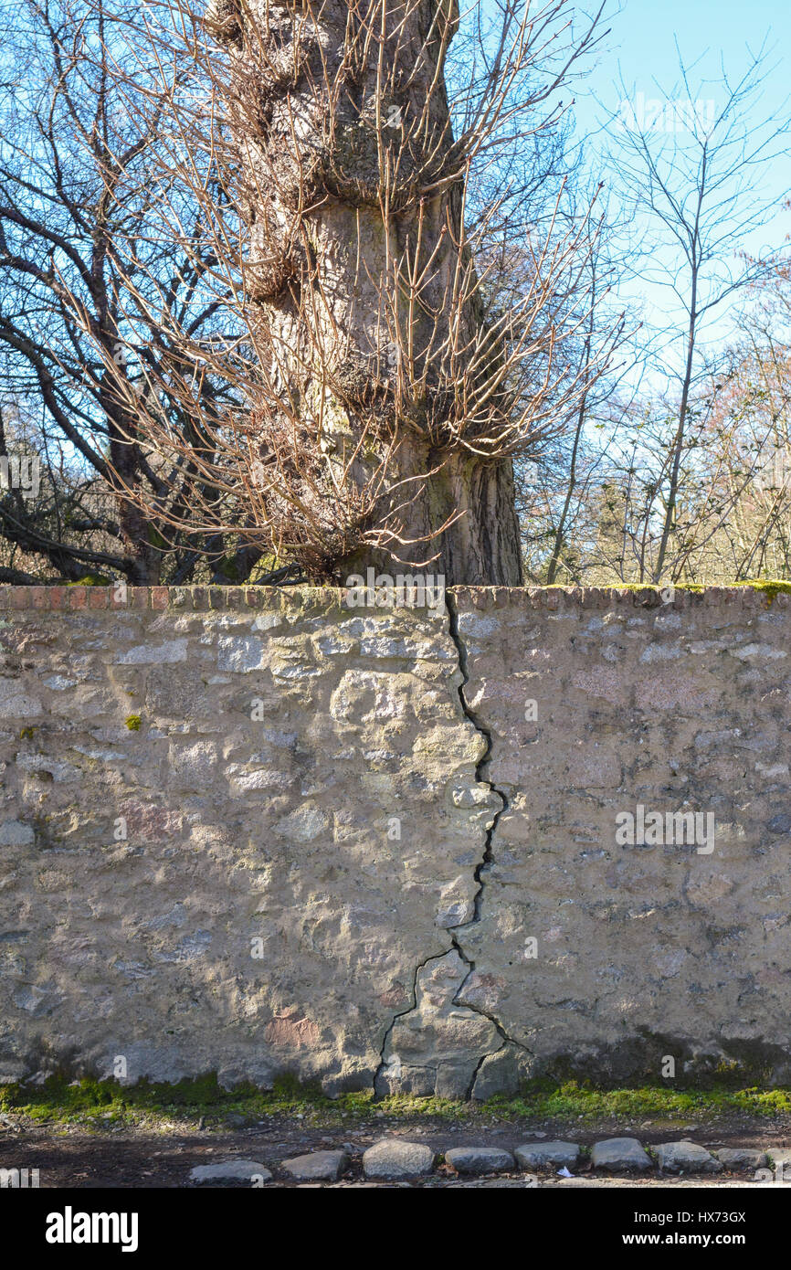 Tree growth damaging cracking stone wall - Stock Image