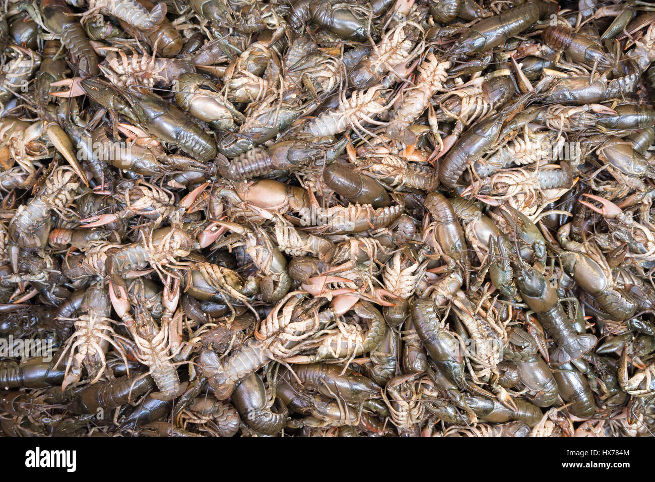 river crayfishes for background use - Stock Image