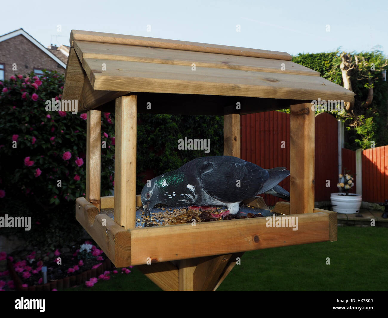 Pigeon on a domestic bird table - Stock Image