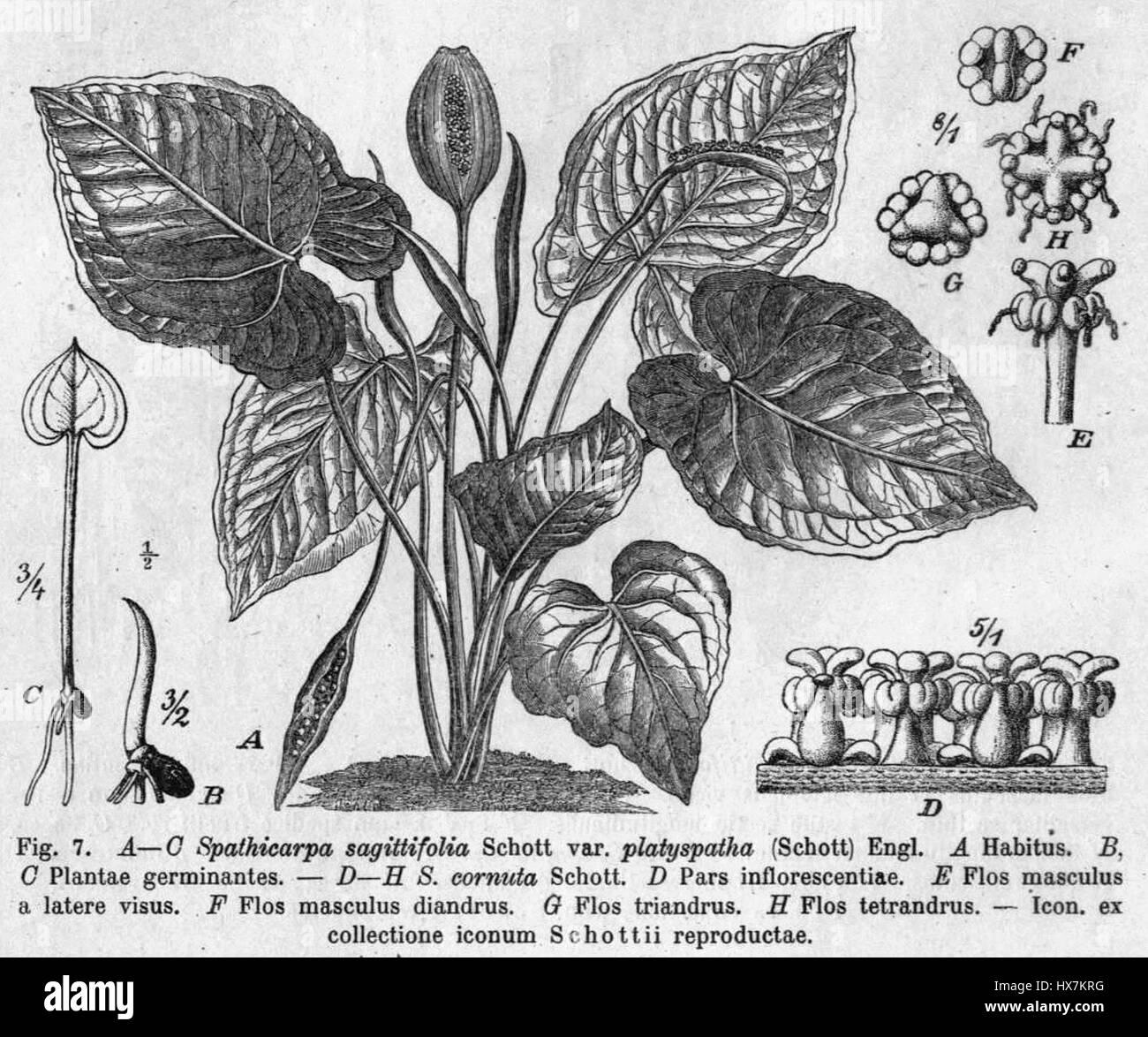 Spathicarpa hastifolia plant Pflanzenreich - Stock Image