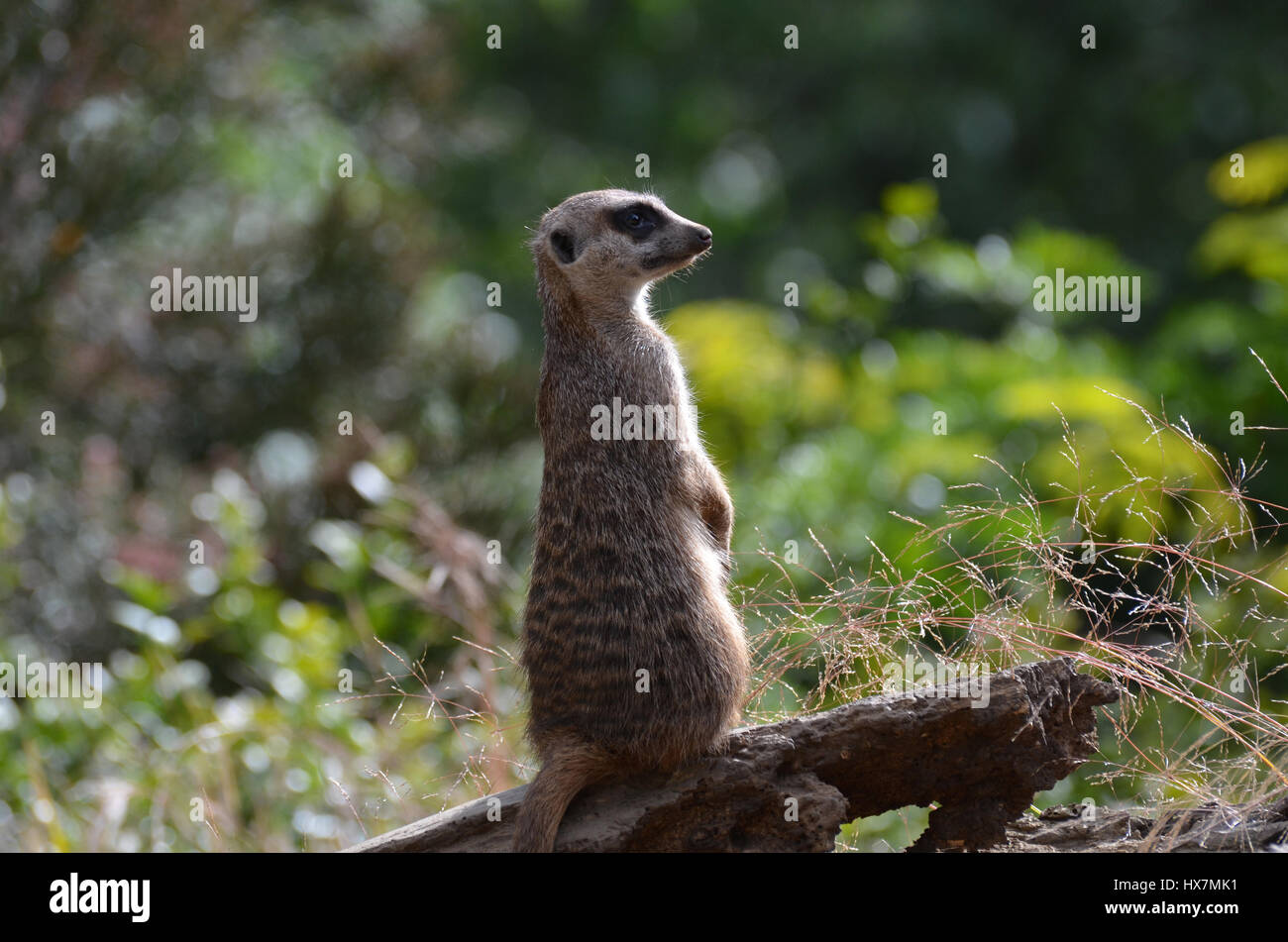 Meerkat sentry on alert and standing at attention. - Stock Image