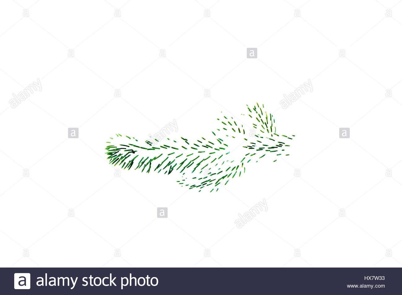 Fir needles covered with snow after a winter snowfall Abies balsamea balsam fir - Stock Image