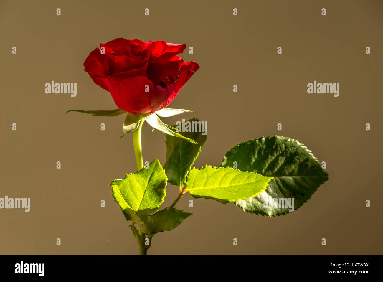 A single stem red rose, Rosaceae, with soft natural lighting from a window - Stock Image
