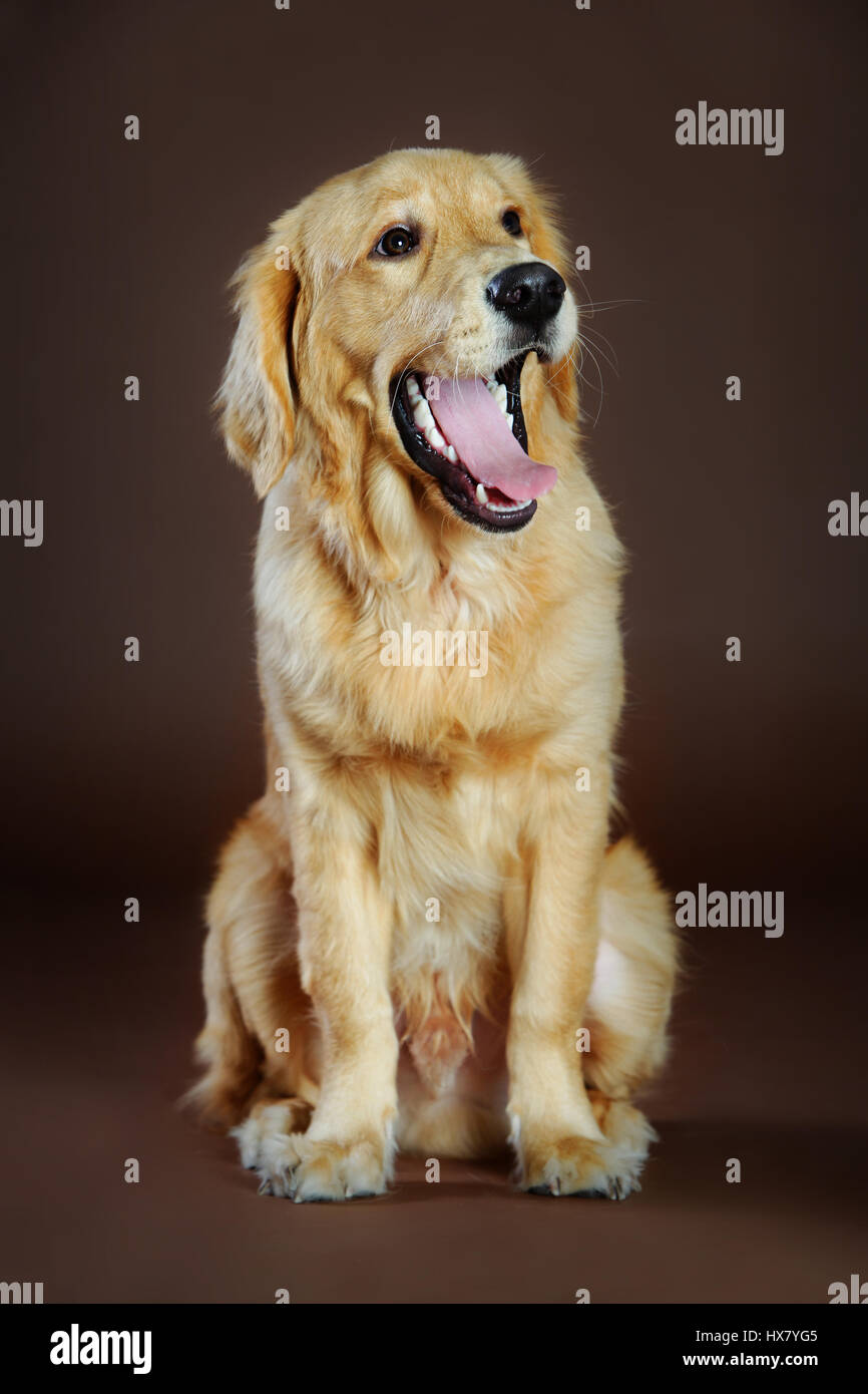 Golden in studio with brown background - Stock Image