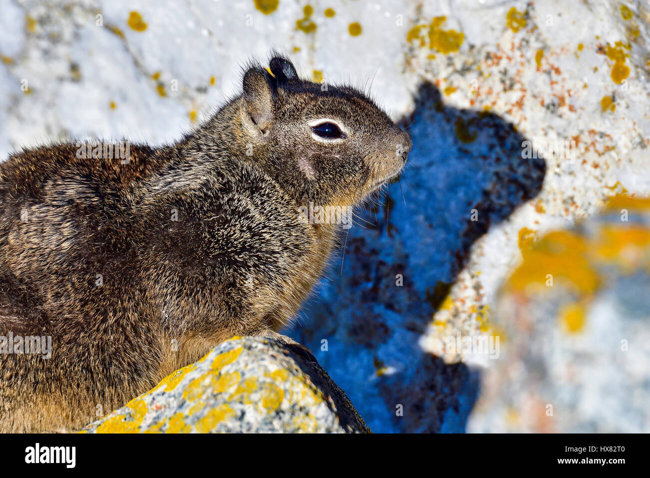 California ground squirrel - Stock Image