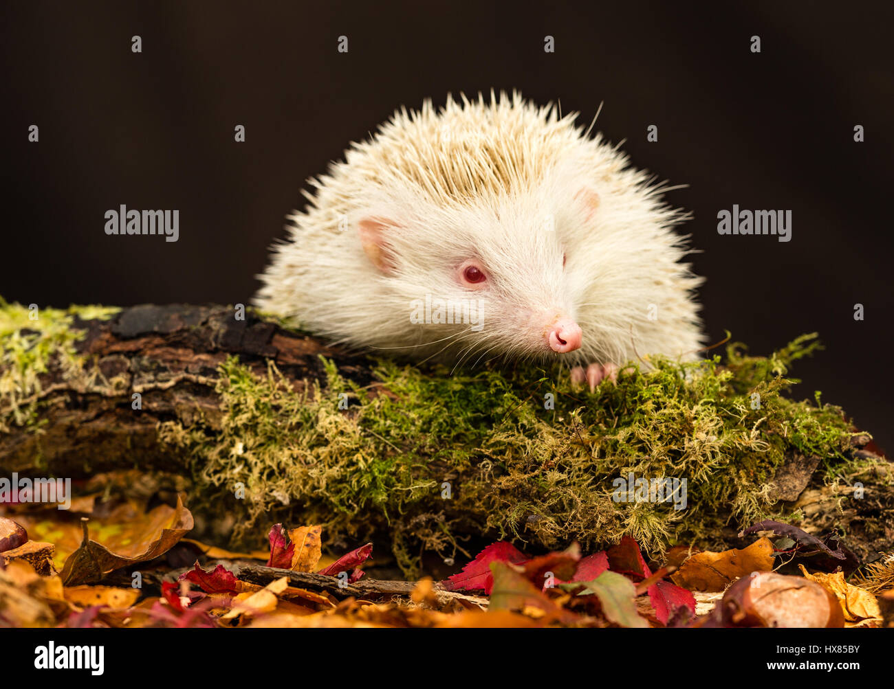 Hedgehog, wild, native, European hedgehog with the rare albino gene.  White spines and pink eyes, nose and paws. - Stock Image