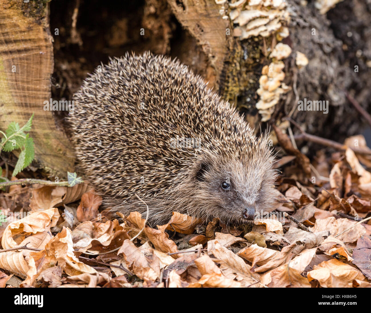 Hedgehog, wild, native, European hedgehog in natural woodland setting with Autumn leaves and Fungi.  Facing to the - Stock Image