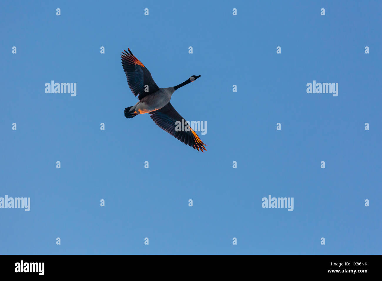 Cananda Goose Flying - Stock Image