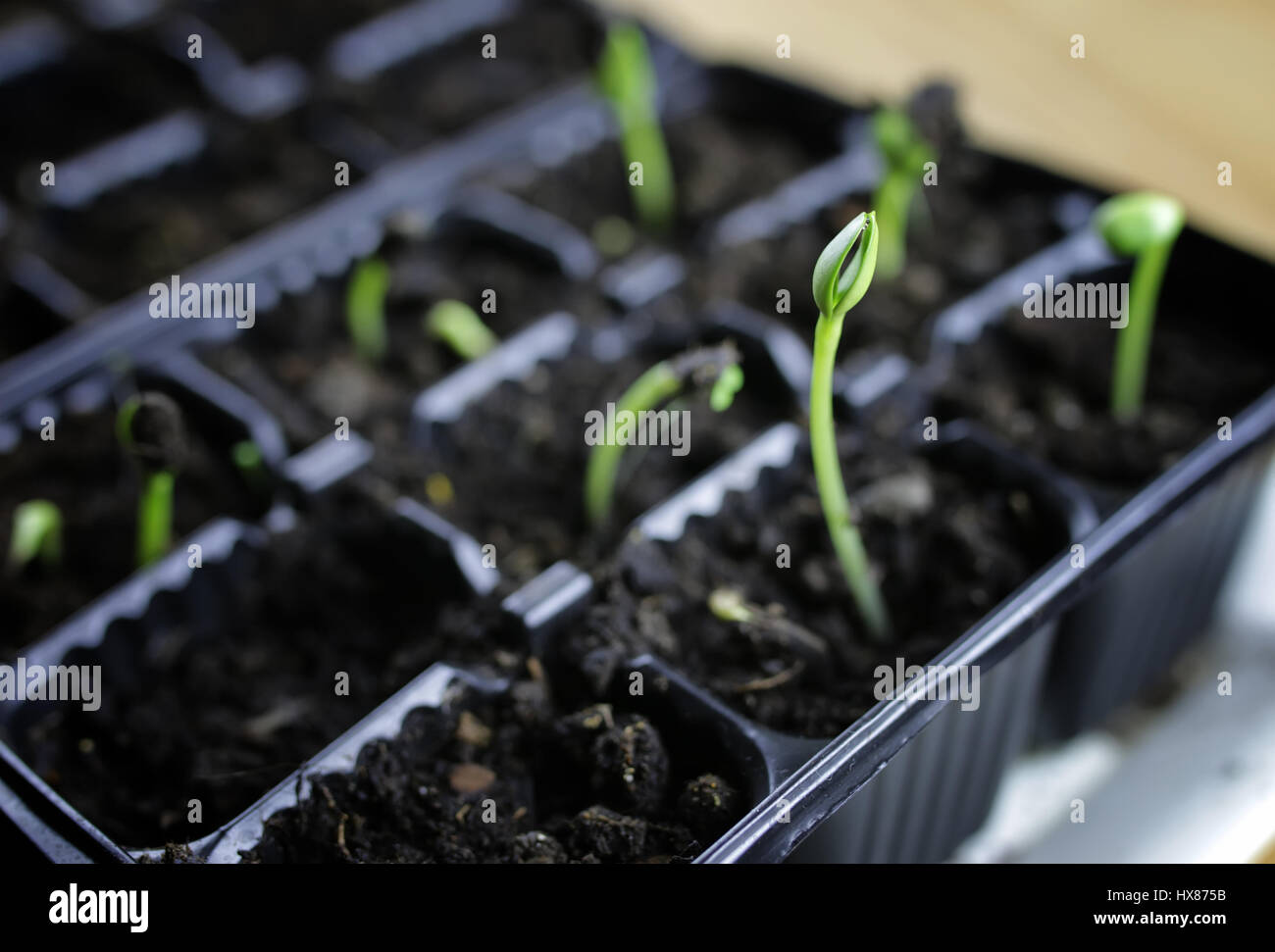 summer seedling seed sunflower - Stock Image