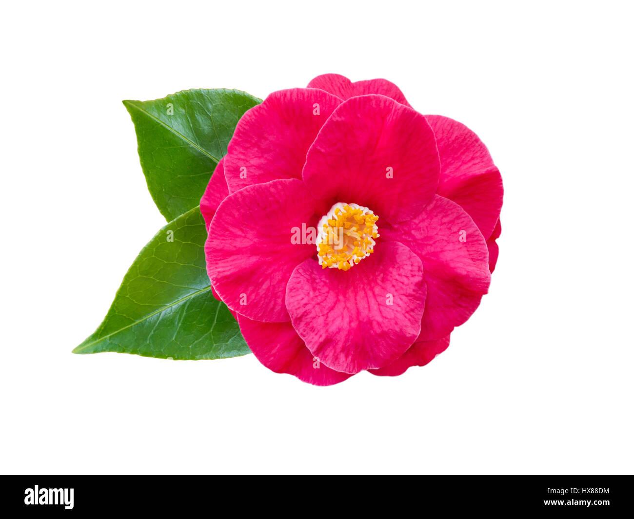 Semi Double Pink Camellia Flower Stock Photos Semi Double Pink
