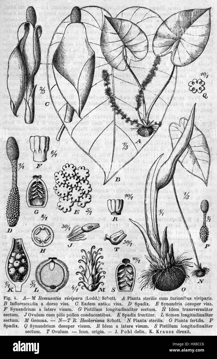 Remusatia vivipara Pflanzenreich - Stock Image