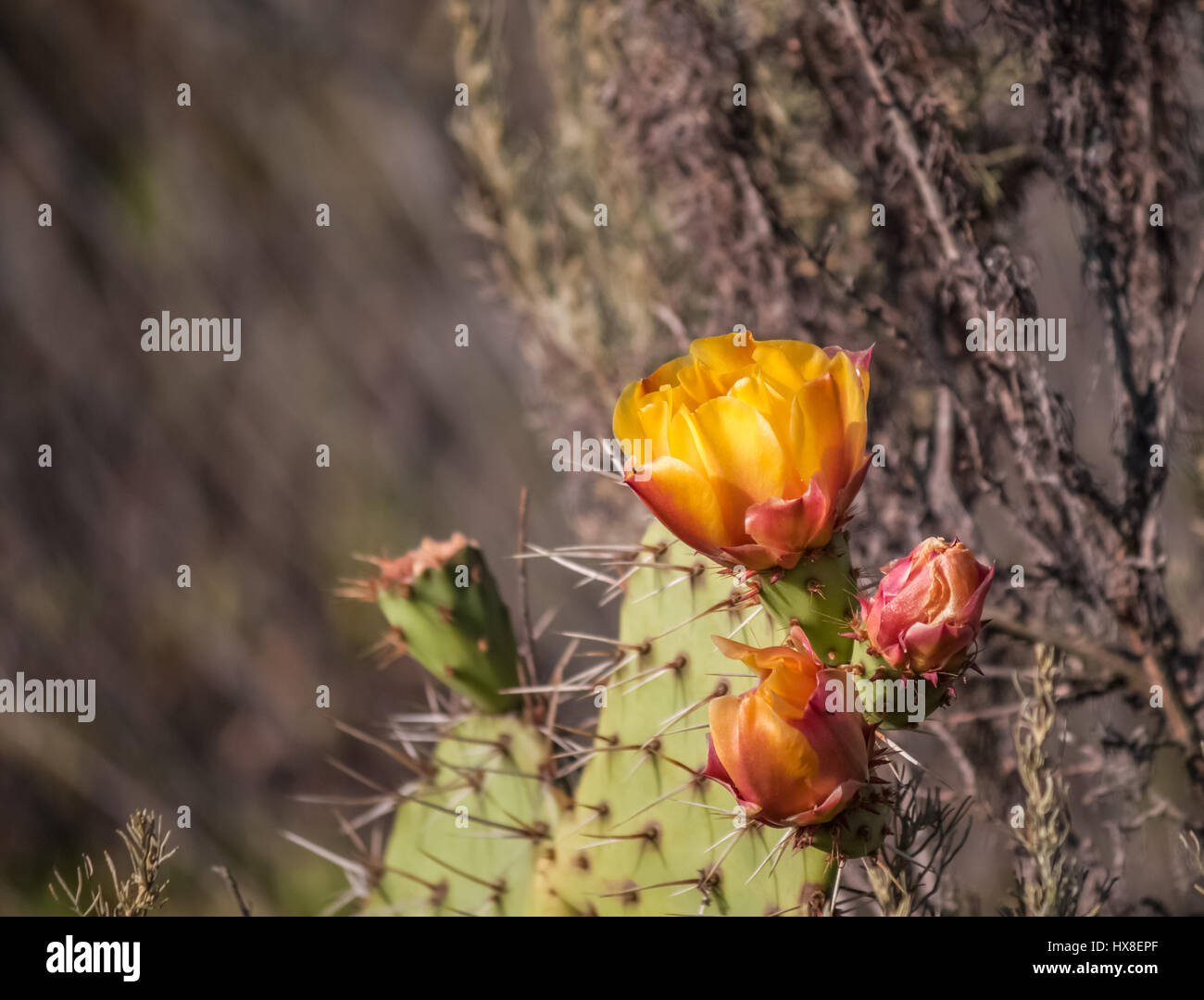 prickly pear cactus flower close up blurred background Stock Photo