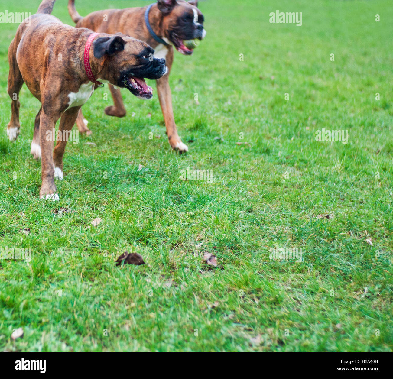 male and female boxer dogs running in park male has tennis ball in his mouth - Stock Image