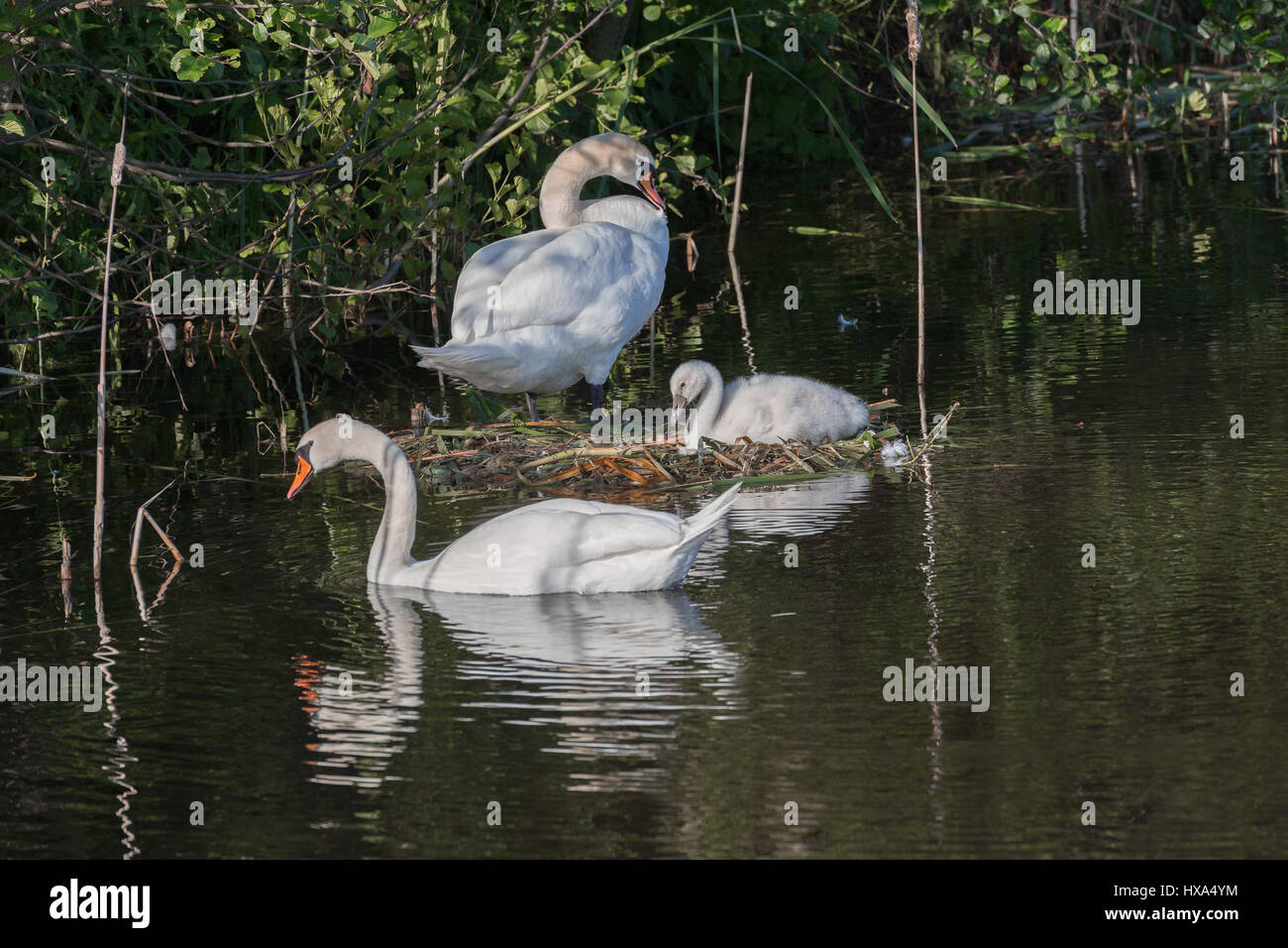 white swan family with ducklings - Stock Image