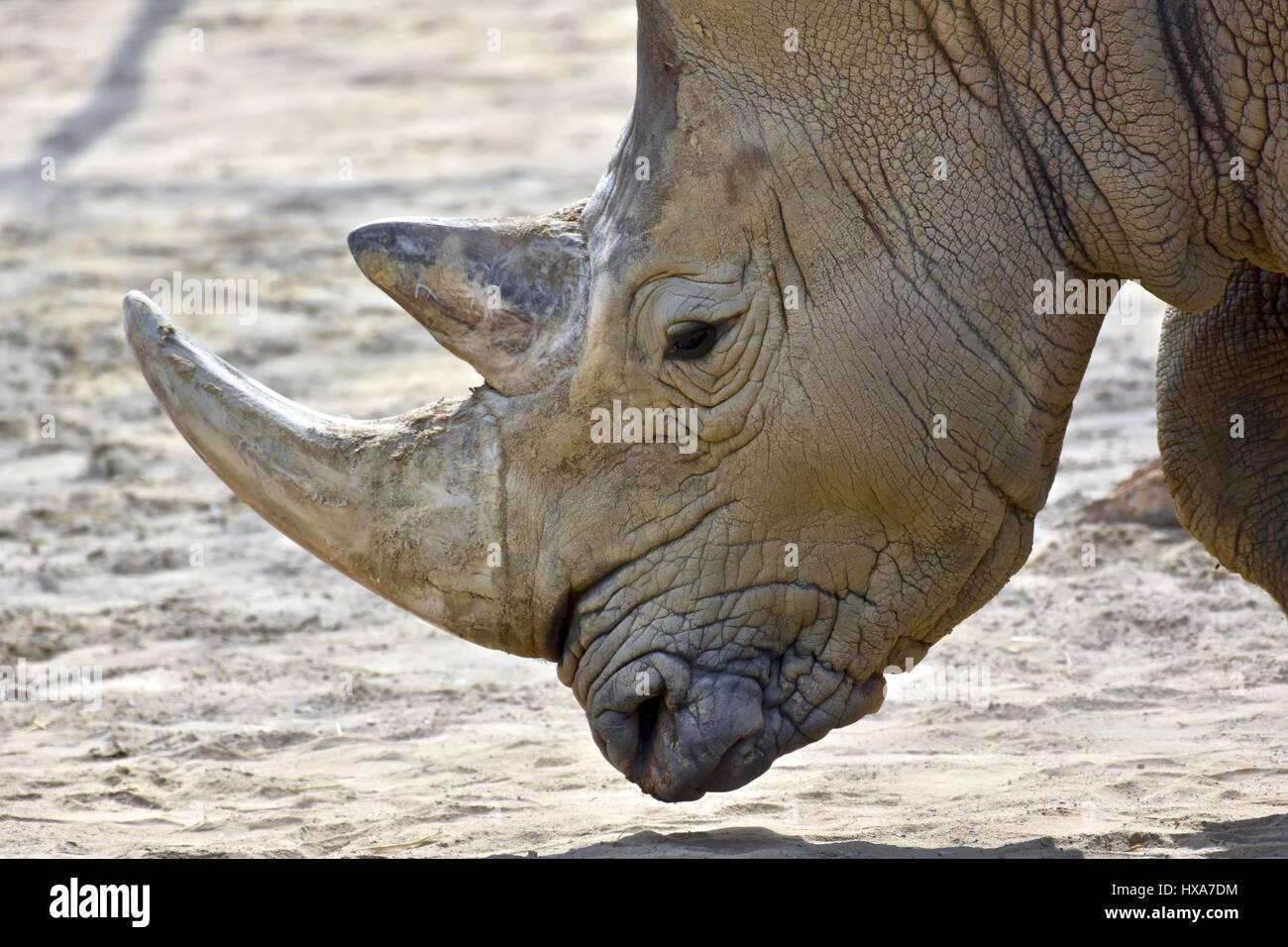 Southern White Rhino (Ceratotherium simum simum) - Stock Image