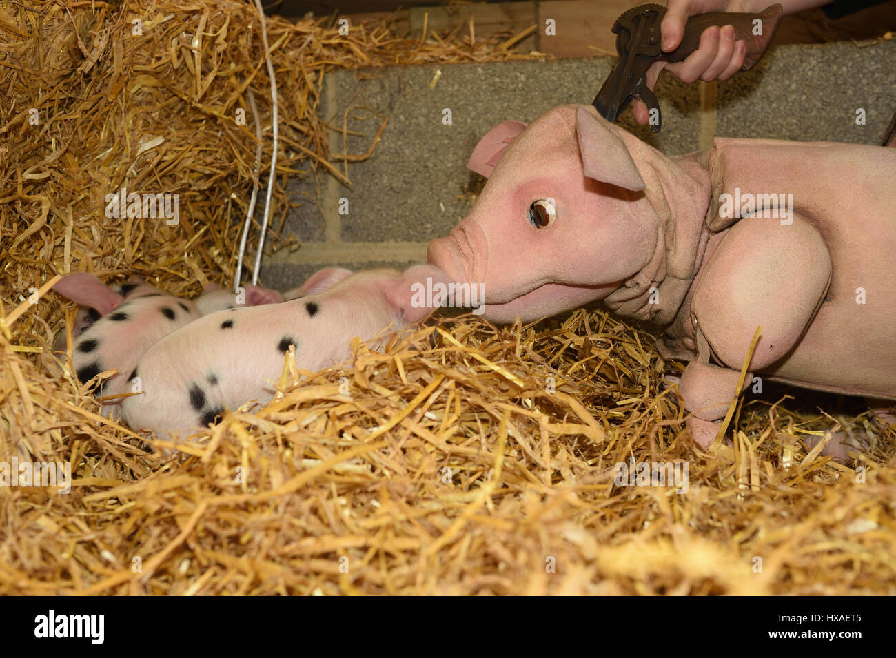 Babe the sheep pig puppet meets real live lambs and piglets down on the farm, press shoot for Wyvern Theatre where Stock Photo