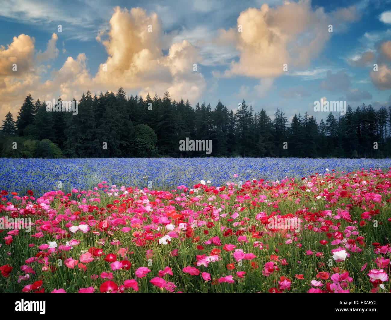 Field of poppies and bachelor buttons. Near Silverton, Oregon - Stock Image