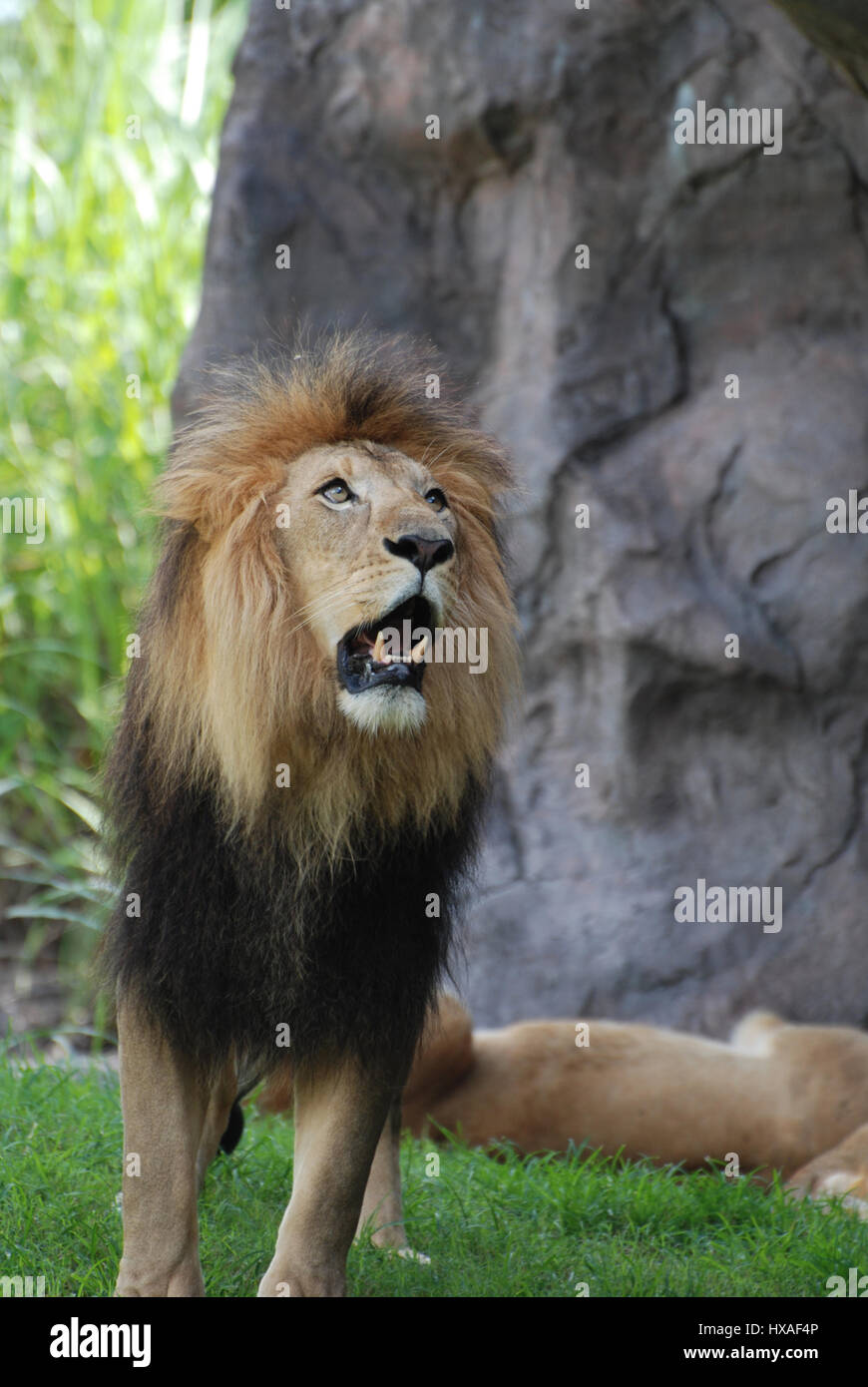 Large lion with his mouth open showing his teeth as he growls. - Stock Image