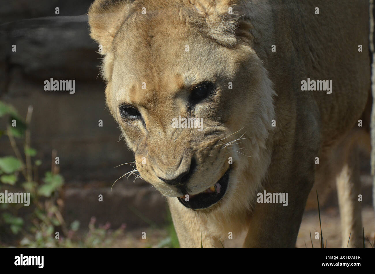 Growling and snarling lioness with her teeth showing. - Stock Image