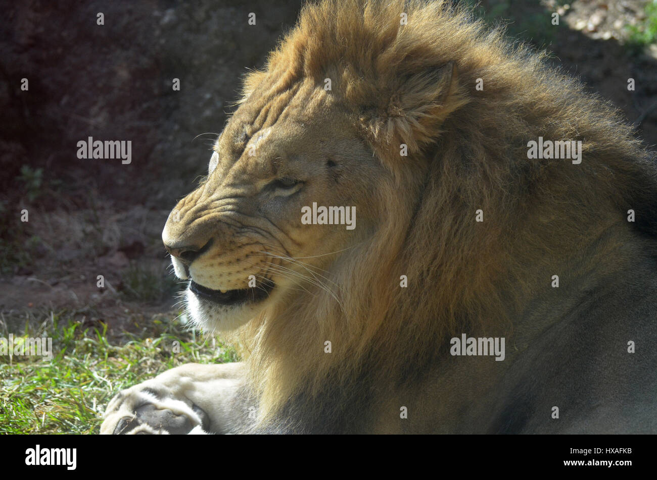 Snarling and growling lion laying down. - Stock Image