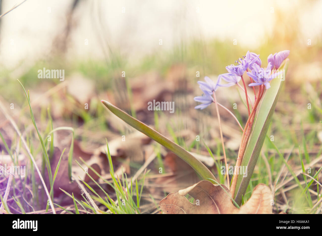 Beautiful Spring Flowers Nature Background Wild Growing Blue Stock