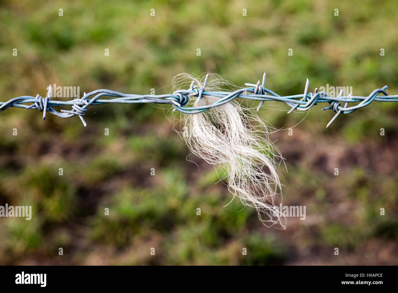 A Barbed Wire fence makes a good Back Scratcher for cattle and sheep on farmland in southwest England Stock Photo