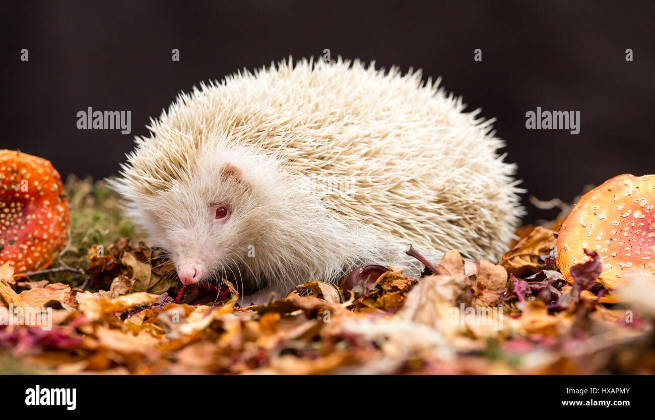 Hedgehog, wild, native, European Hedgehog in woodland setting, with the rare albino gene.  White spines with pink - Stock Image