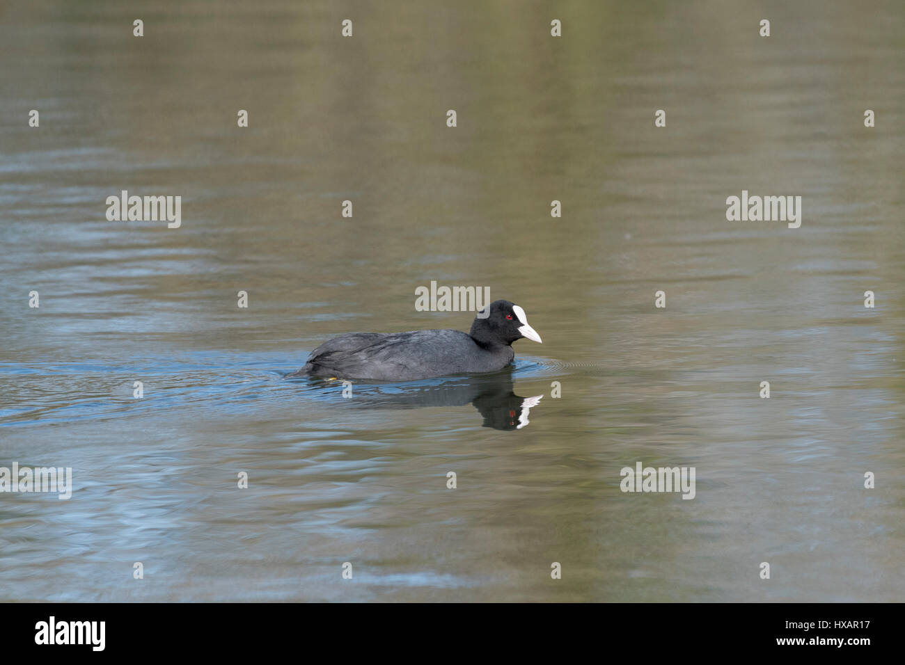 Coot Fulica atra Milton country park - Stock Image