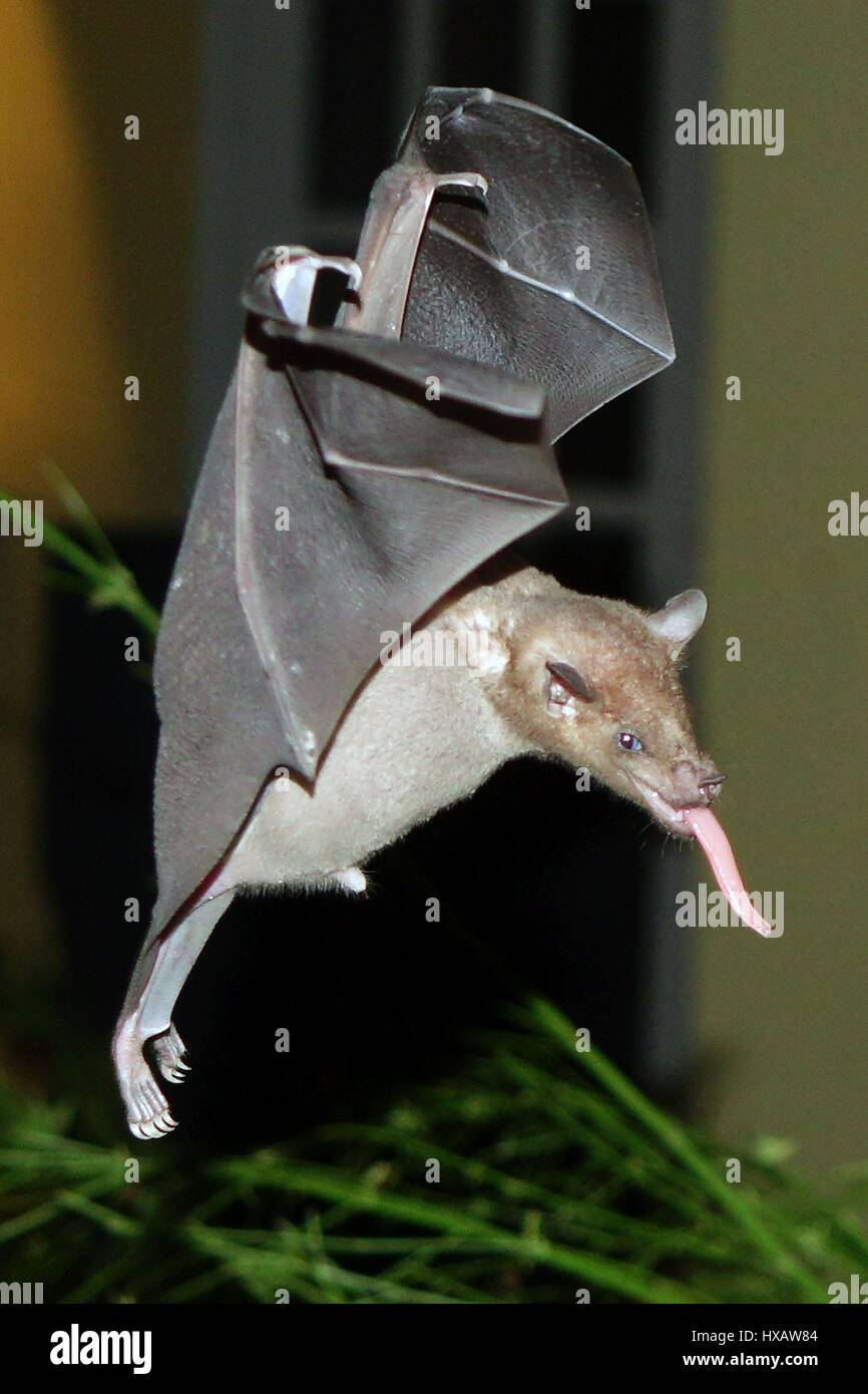 Bats flying and surching for food, Bonaire, Caribbean - Stock Image