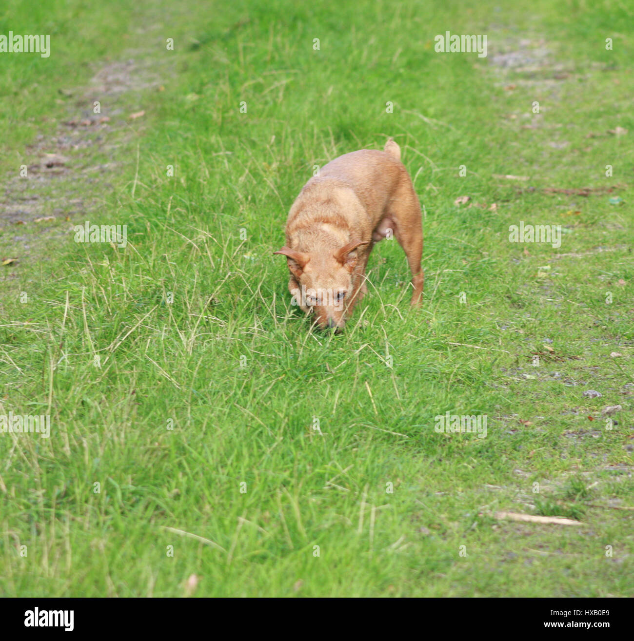 Isolated small brown terrier dog sniffing the grass - Stock Image