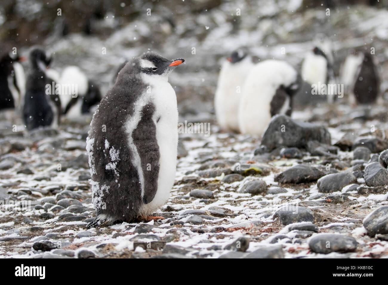 Penguin chick, chicks. Gentoo penguins Antarctica. Stock Photo