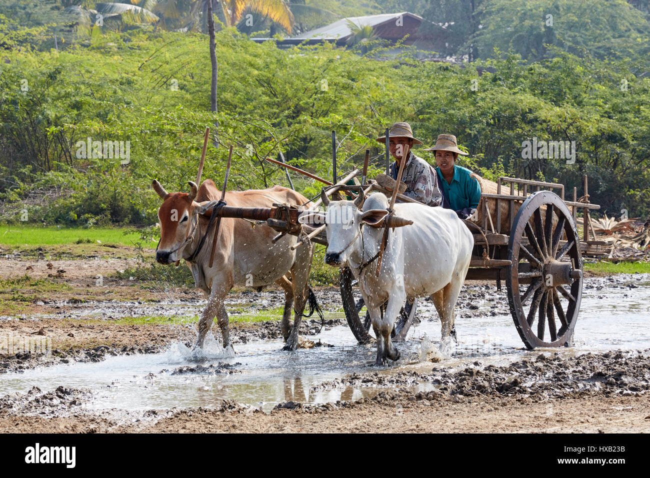 Locals on ox cart in Shwebo, Myanmar, Asia - Stock Image