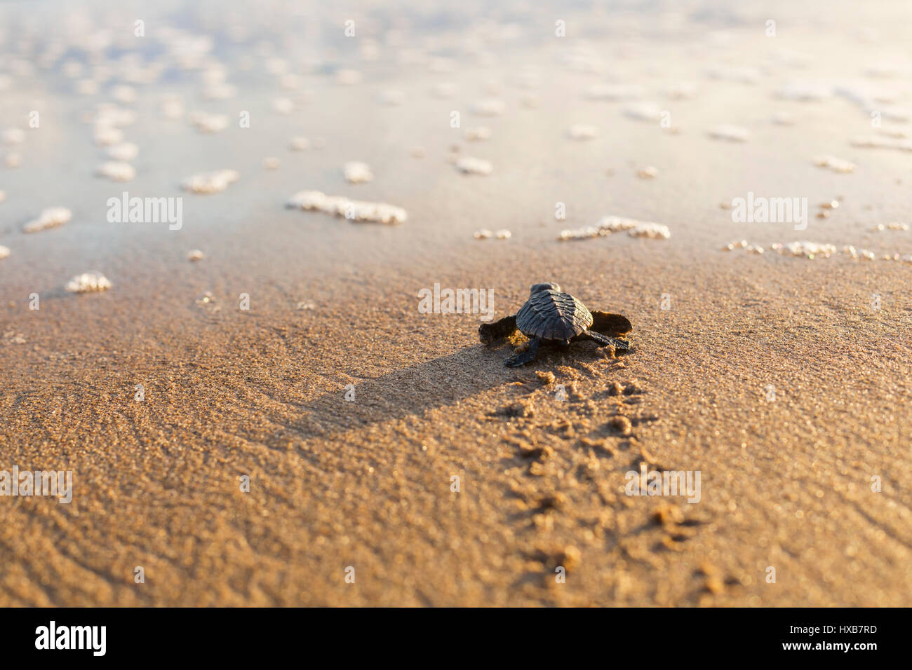Baby loggerhead turtle (Caretta caretta) making its journey to the sea.   Mon Repos Conservation Park, Bundaberg, - Stock Image