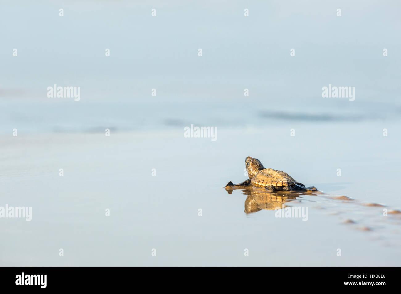Baby loggerhead turtle (Caretta caretta) making its journey to the sea.   Mon Repos Conservation Park, Bundaberg, Stock Photo