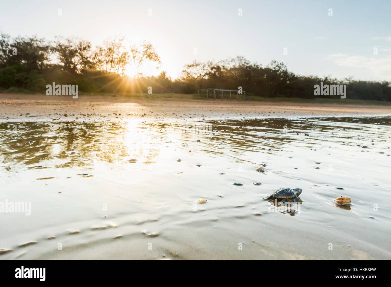 Baby loggerhead turtle (Caretta caretta) making its journey to the sea at sunset.   Mon Repos Conservation Park, Stock Photo