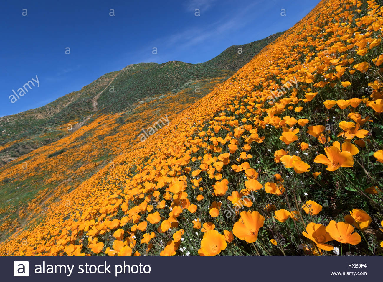 California Golden Poppy blooming in Walker Canyon, Lake Elsinore, CA - Stock Image