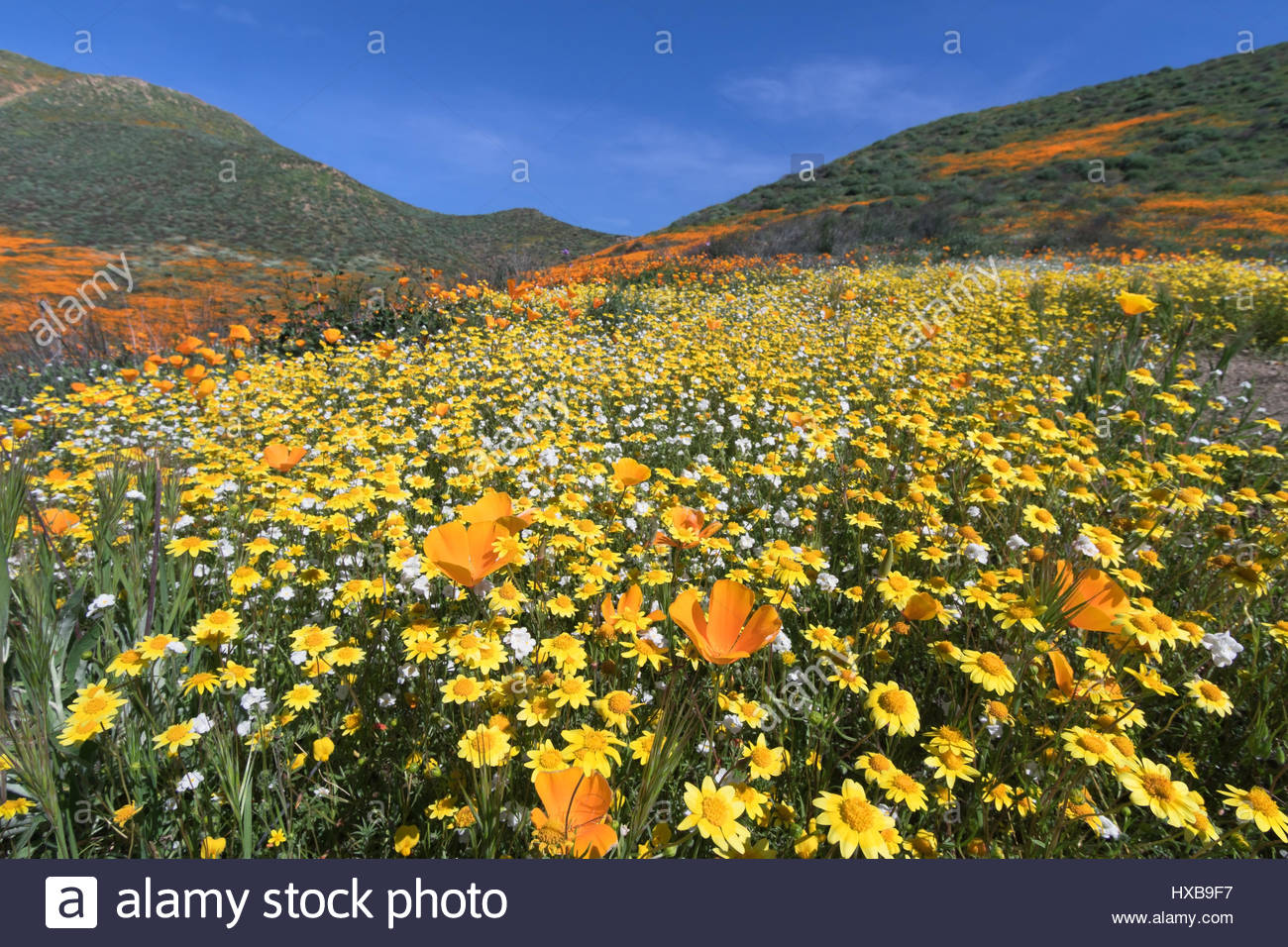 California Golden Poppy and Goldfields blooming in Walker Canyon, Lake Elsinore, CA - Stock Image