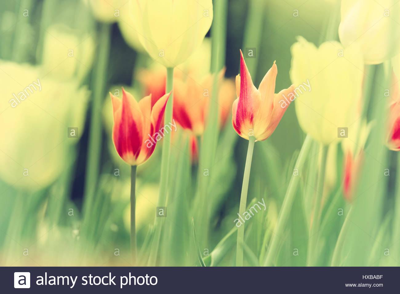 Beautiful Tulip Flowers Stock Photos Beautiful Tulip Flowers Stock