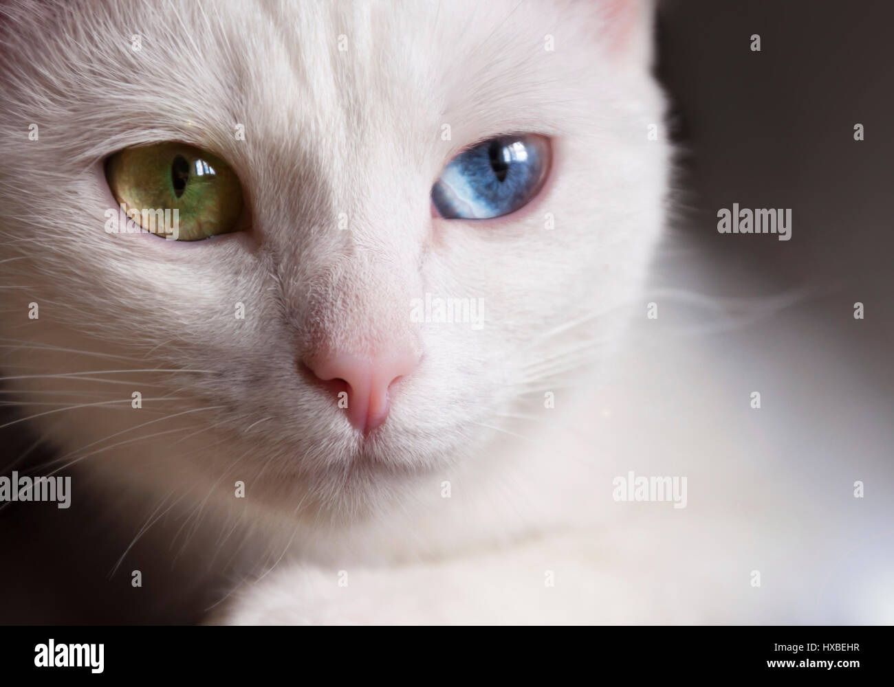 Odd Eyed Cat High Resolution Stock Photography And Images Alamy