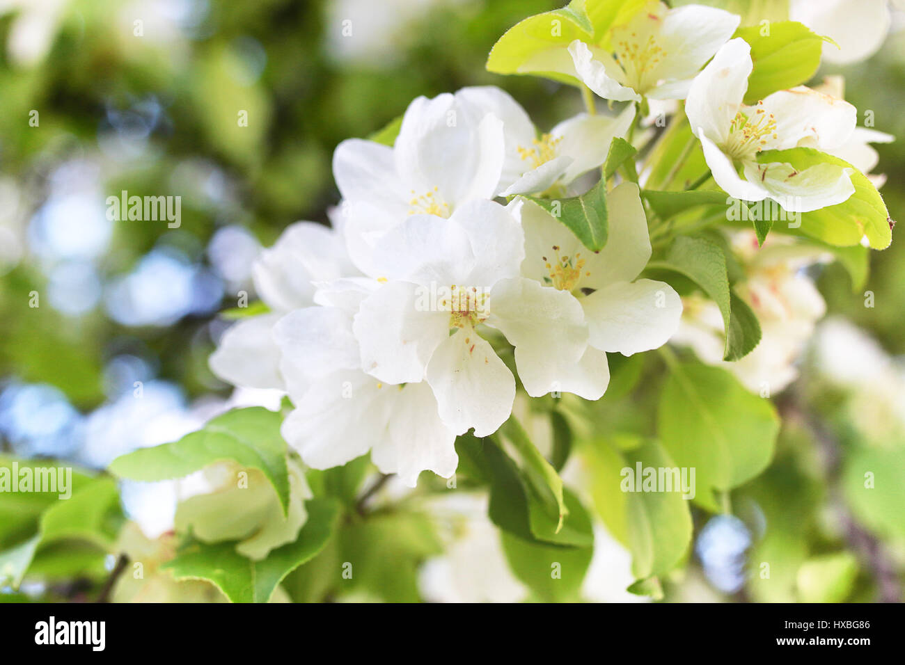 Early spring flowering apple tree with bright white flowers stock early spring flowering apple tree with bright white flowers mightylinksfo
