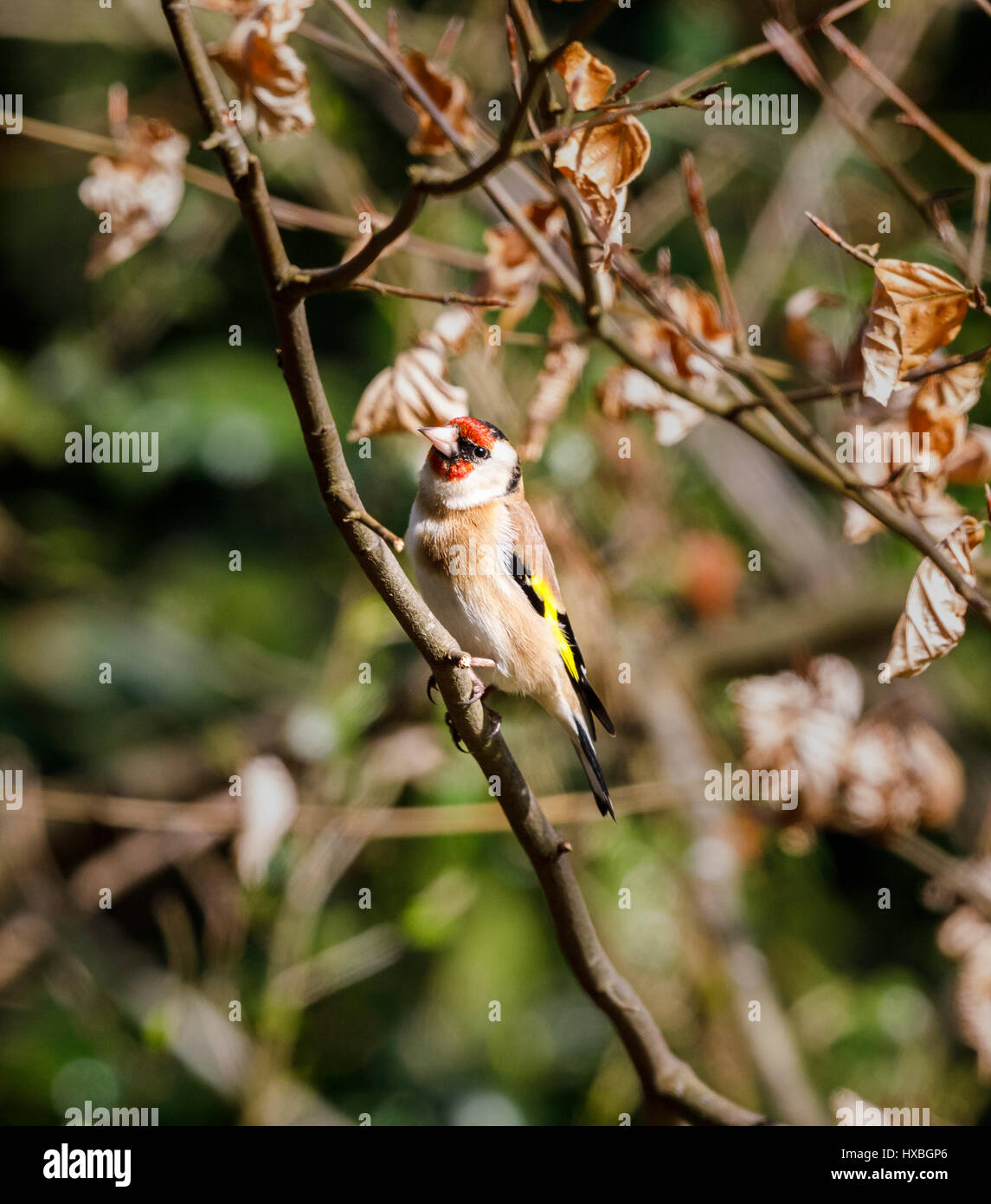 Colourful Carduelis carduelis, European goldfinch, perching on a branch of a beech tree in spring, Surrey, south Stock Photo