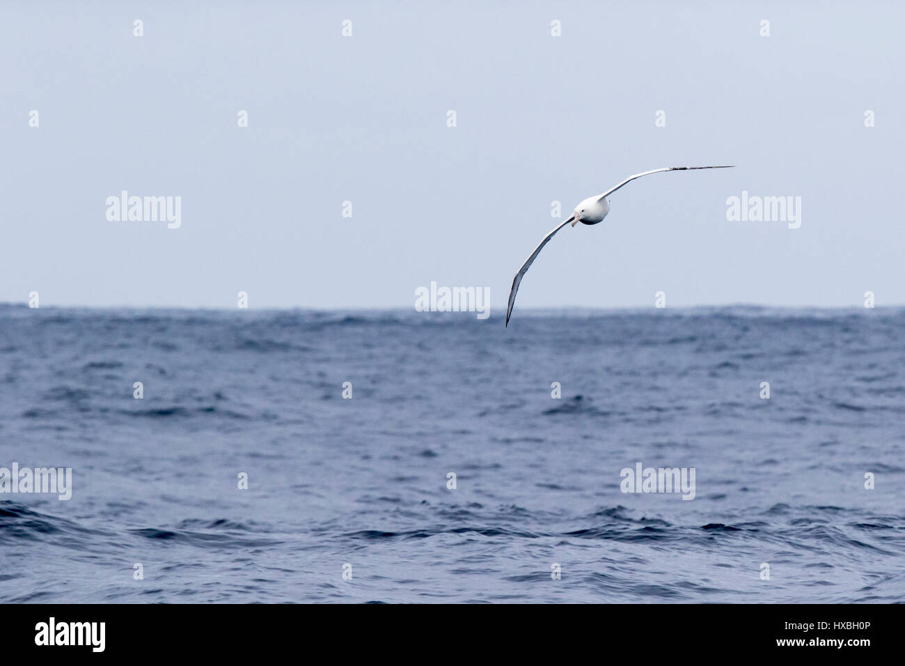 Albatross soars above the Drake Passage. - Stock Image