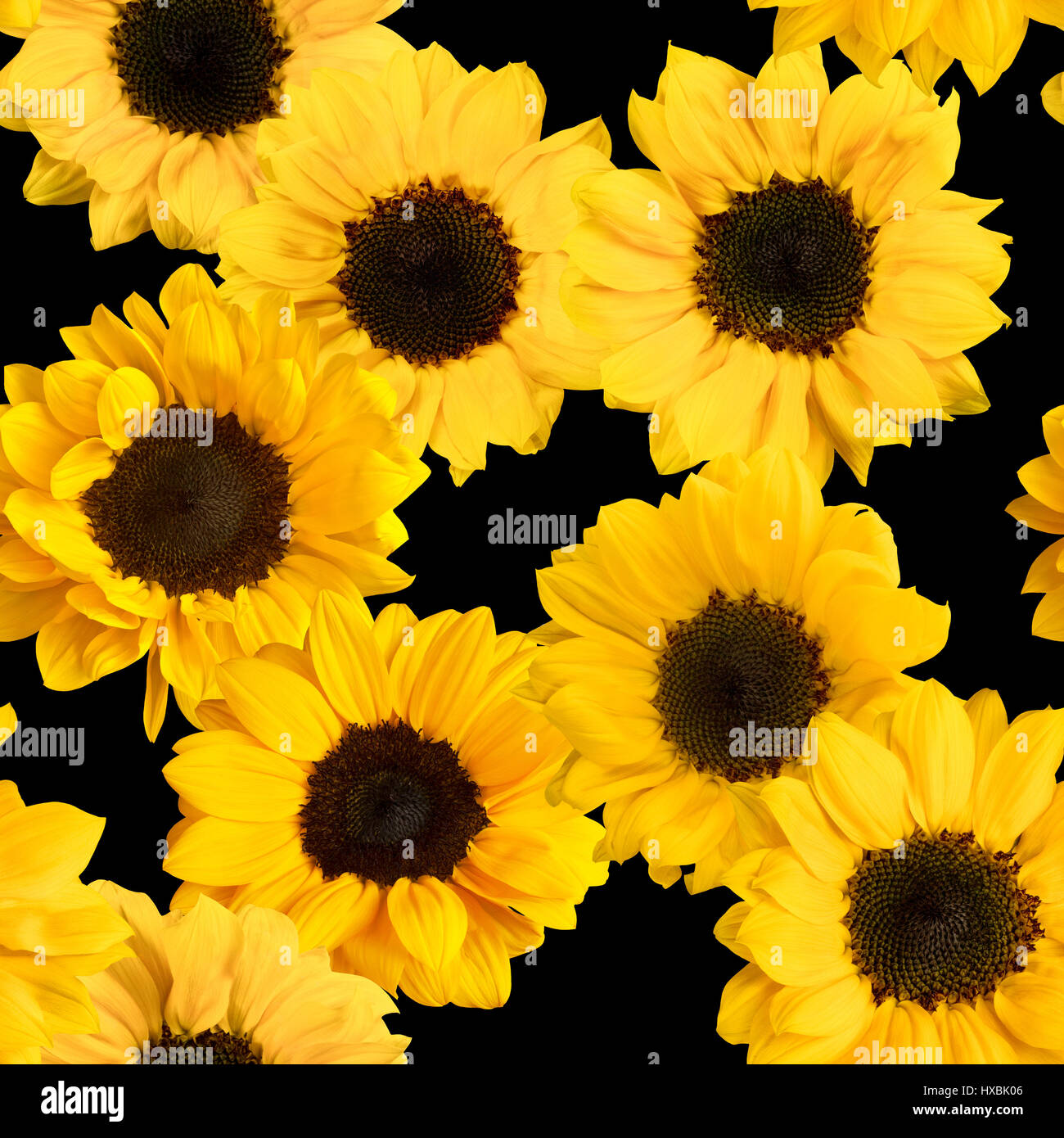 a seamless pattern with photos of shiny yellow sunflowers on a black HXBK06
