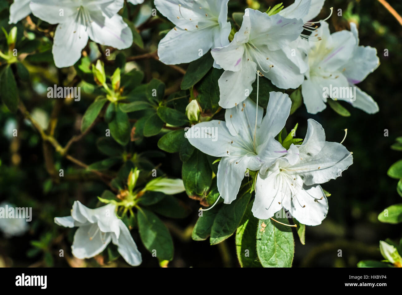 Bright white tropical flower rhododendron with deep green background bright white tropical flower rhododendron with deep green background mightylinksfo