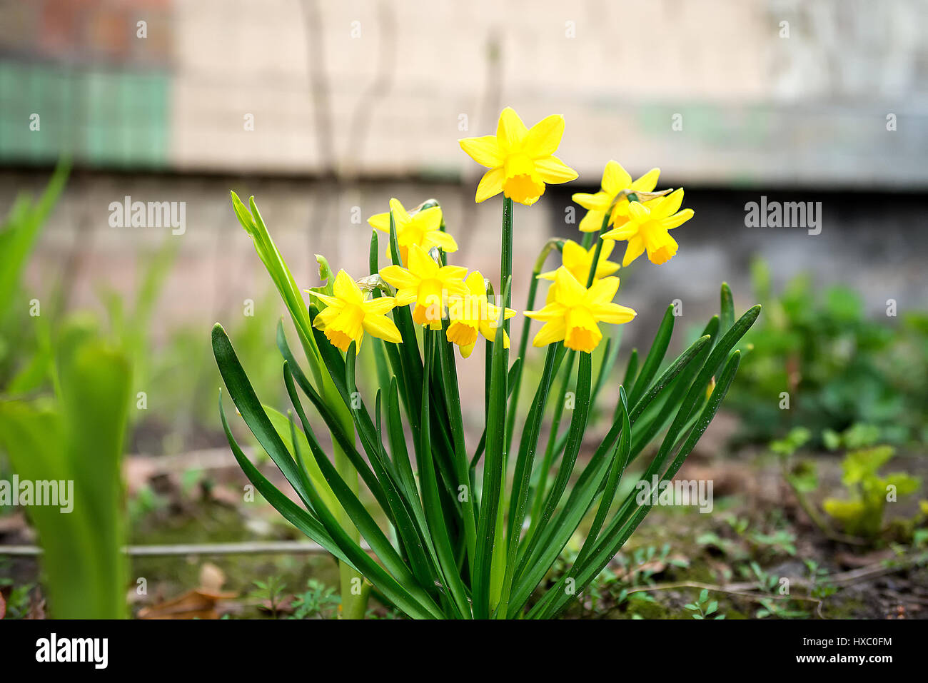 the little yellow daffodil and the flower Stock Photo