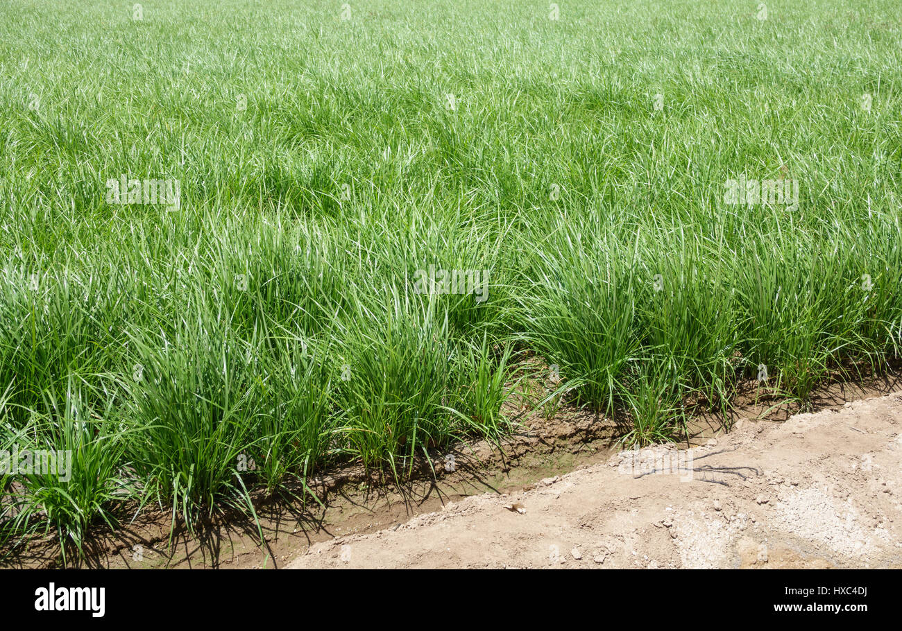 Detailed view of horchata plantation Stock Photo