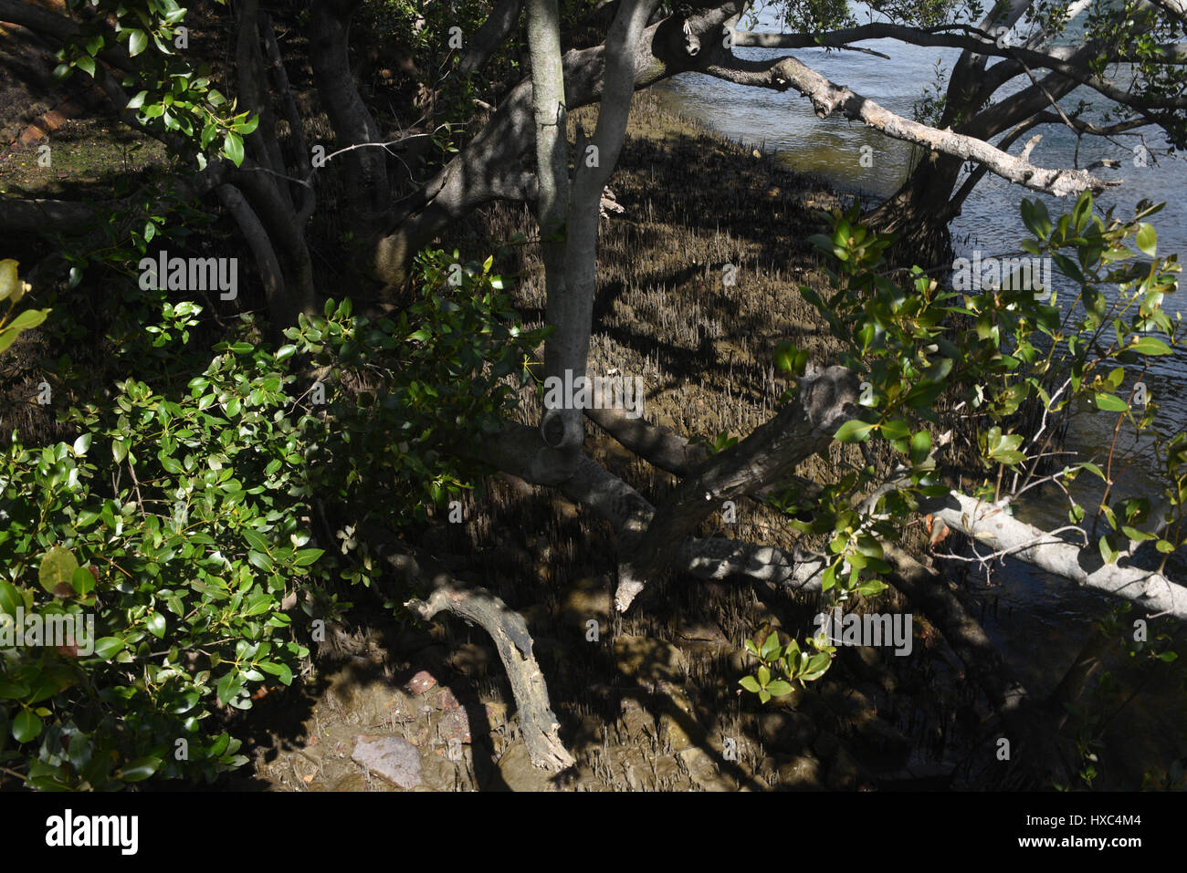 Brisbane, Australia: Mangroves on the banks of the Brisbane River - Stock Image